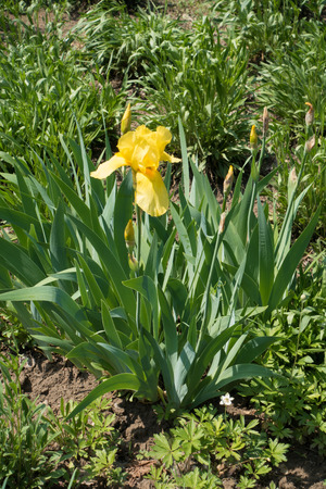 Blooming yellow german bearded iris in spring