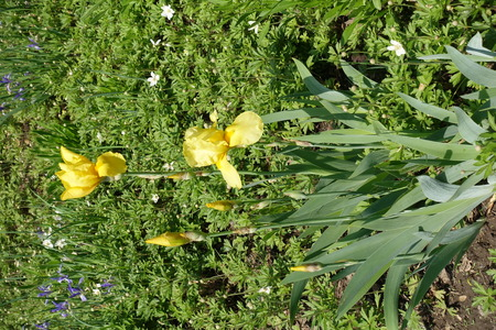 Buds and yellow flowers of german bearded iris in spring Imagens