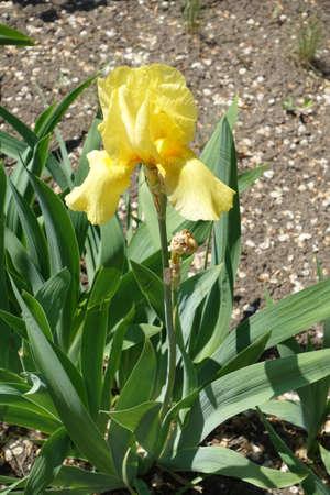 One yellow flower of german bearded iris in spring 版權商用圖片