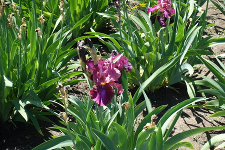 Magenta colored flower of bearded iris in May