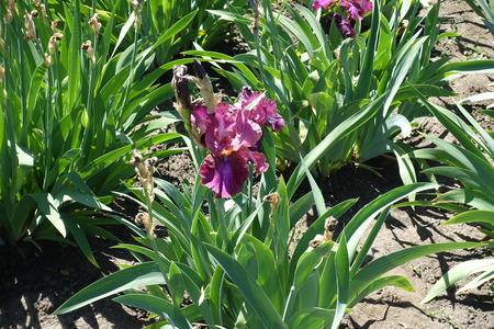 Pinkish purple flower of German iris in May
