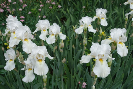 Many white flowers of bearded irises in May Imagens