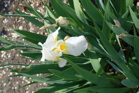 One white flower of German iris in May Imagens