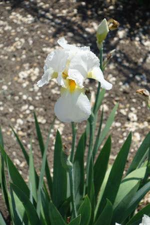 Single white flower of German iris in May