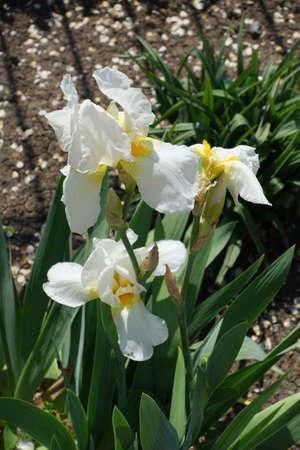 White flowers of German iris in May