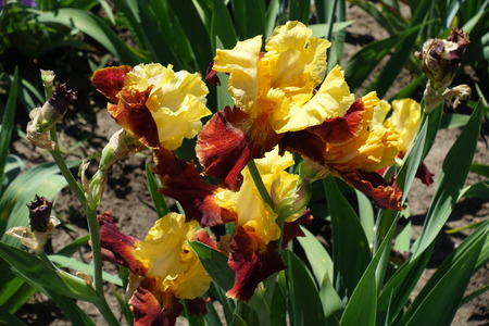 Bunch of bright red and yellow flowers of bearded iris Imagens - 124727901