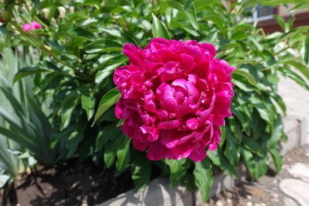 Double flowered crimson peony in mid May 写真素材