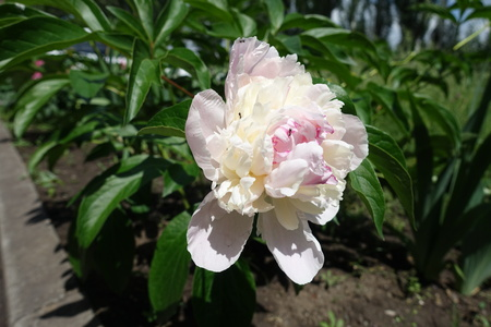 One light pink flower of common peony in spring