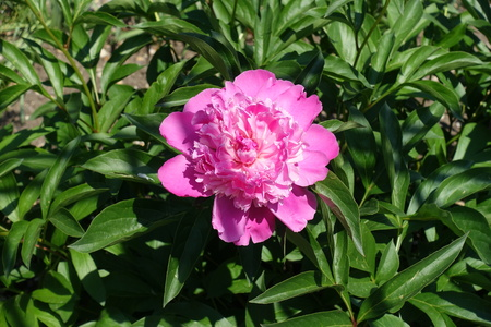 Vibrant pink flower of common peony in spring