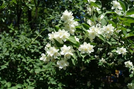English dogwood in full bloom in June