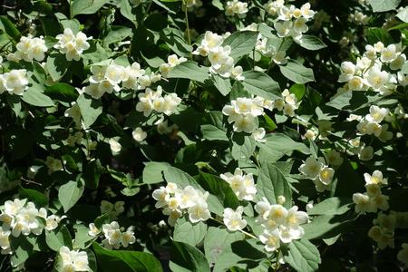 Lots of white flowers in the leafage of Philadelphus coronarius Stockfoto