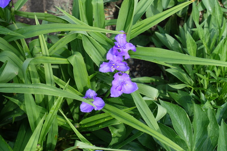 Four violet flowers of spiderwort in May