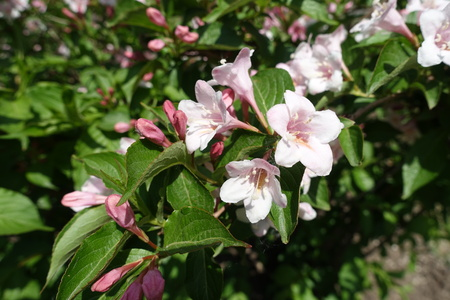 Buds and flowers of Weigela florida in spring Stock Photo