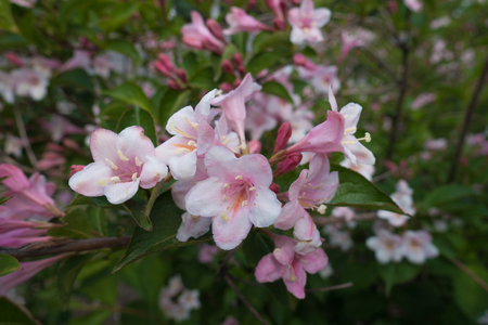 Close shot of pink flowers of Weigela florida