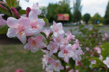 Close view of pink flowers of Weigela florida