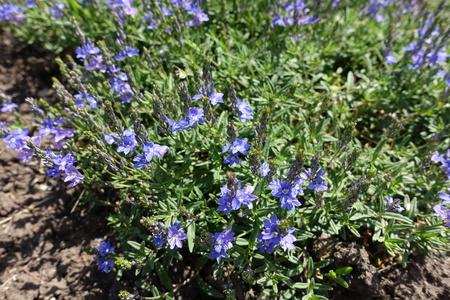 Blue flowers of Veronica austriaca in late spring Imagens - 124728021