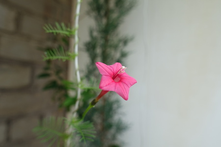 Closeup of red flower of Ipomoea quamoclit