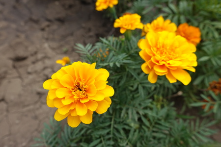 Amber yellow flower heads of Tagetes patula in summer Stock Photo