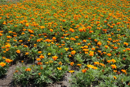 Bedding flowers - Tagetes patula in full bloom in summer