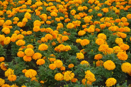 Backdrop - plenty of orange flowers of Tagetes erecta Stock Photo