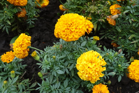 Bunch of orange flower heads of Tagetes erecta