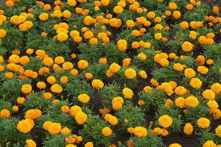 Great quantity of orange flower heads of Tagetes erecta 版權商用圖片