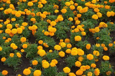 Lots of orange flower heads of Tagetes erecta