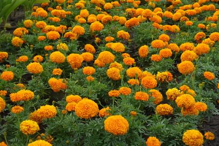 Many orange flower heads of Tagetes erecta