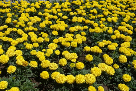 Background - lots of flowering yellow Tagetes erecta Foto de archivo
