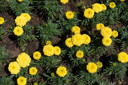 Blooming yellow Tagetes erecta in early summer