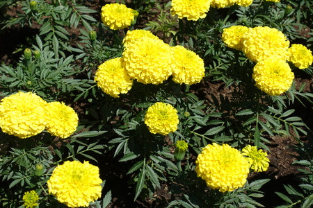 Close shot of yellow flower heads of Tagetes erecta
