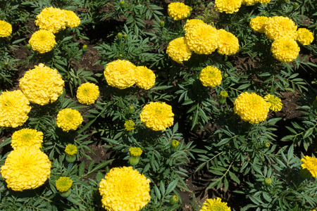 Dark green leaves and bright yellow flowers of Tagetes erecta Stock Photo
