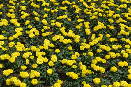 Flower bed with lots of yellow flowers of Tagetes erecta