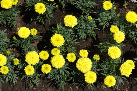 Flowering yellow Tagetes erecta in early summer Foto de archivo