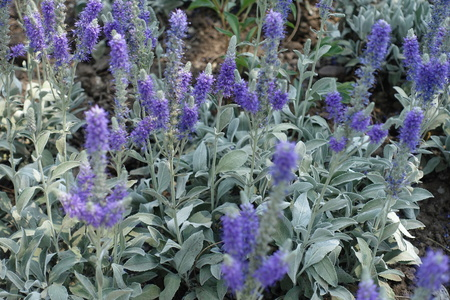 Many violet flowering spikes of Veronica incana