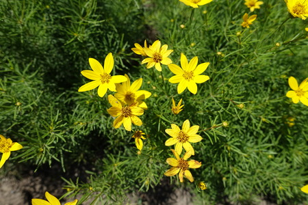 Small yellow flowers of Coreopsis verticillata in June