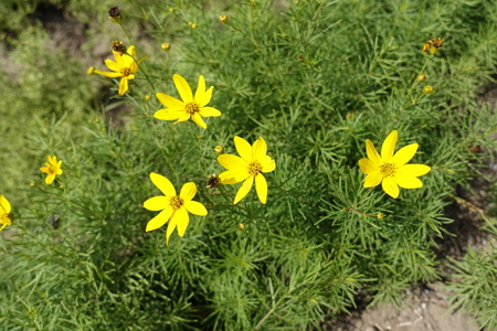 Some yellow flowers of Coreopsis verticillata in July