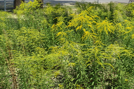 A lot of yellow flowers of Solidago canadensis in mid summer Imagens