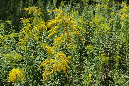 Blooming Solidago canadensis plants in mid summer