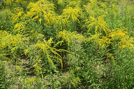 Blossoming Solidago canadensis plants in mid summer