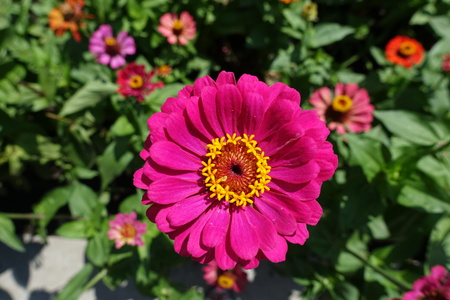 Big magenta colored flower head of zinnia in July Stock Photo