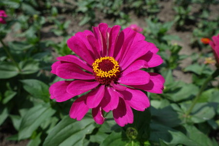 Bold magenta colored flower head of zinnia