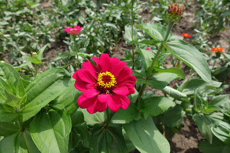Bud and magenta colored flower head of zinnia