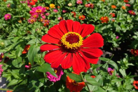 Close shot of bright red flower head of zinnia Stock Photo