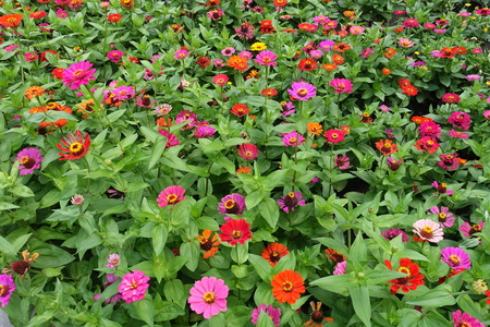 A lot of red, pink, magenta, orange, yellow flowers of zinnia
