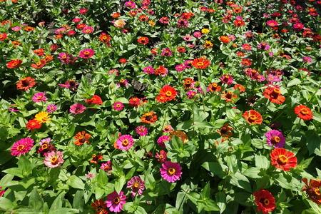 Bright red, pink, magenta, orange, yellow flowers of zinnia Stock Photo