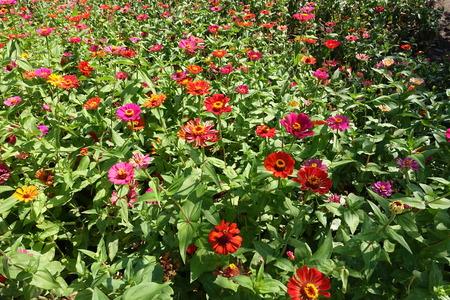 : Colorful red, pink, magenta, orange, yellow flowers of zinnia Stock Photo
