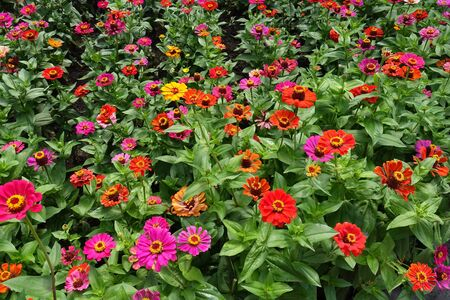 Vibrant red, pink, magenta, orange, yellow flowers of zinnia Imagens