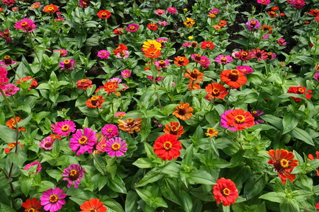 Vivid red, pink, magenta, orange, yellow flowers of zinnia 写真素材