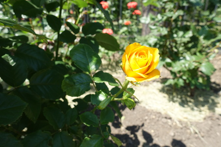 Branch of rose bush with one amber yellow flower